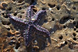 Blue spiny starfish