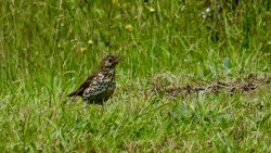 Thrush calling to it's mate in North Island, New Zealand