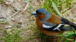 Male Chaffinch looking for his girlfriend North Island, New Zealand