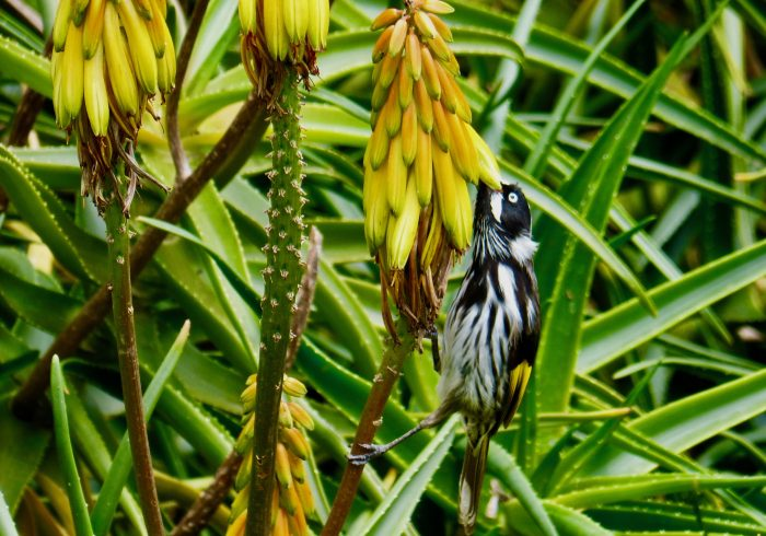 New Holland Honey Eater dining out Melbourne, Australia