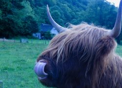 A very hairy cow! Close by Isle of Sky, Scotland