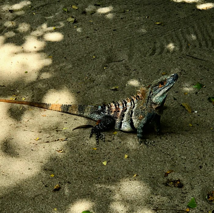 Iguana time….. blending in with your background