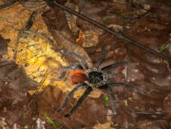 There are hundreds of tarantula species found in most of the world's tropical regions, lik ...