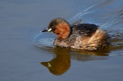 Little grebe, bird reserve, Gava, Spain
