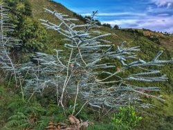 Amazing tropical tree, a species of eucalyptus, at 2,300 mts above sea level on the Colombian An ...