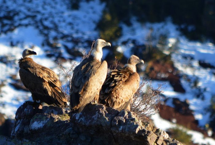 Griffon vultures near La Molina, Spain