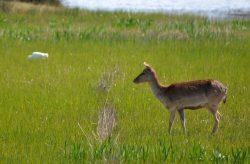 Fallow deer, Aiguamolls de Emporda, Spain