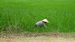 Preparing the rice fields in Ninh Binh Vietnam