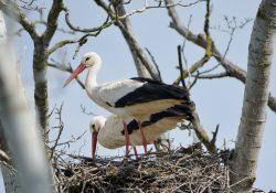 Storks, Aiguamolls de Emporda, Spain